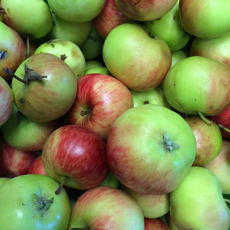 """Omena muuttuu etikaksi puolessa vuodessa. Kuva: <span class=""""photographer"""">Teemu Leminen.</span>"""